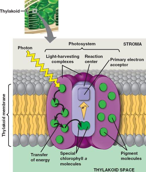 General Photosystem association of proteins holding a many different accessory pigments association of proteins holding chlorophyll a pigments a