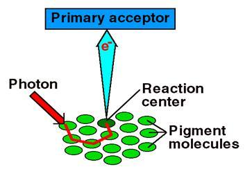 state, releasing energy as heat and light but in plants the primary acceptor does