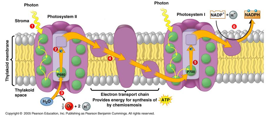 Photosystem I and II To complete the light reactions plants require 2 different photosystems working together to harvest the energy and electrons needed