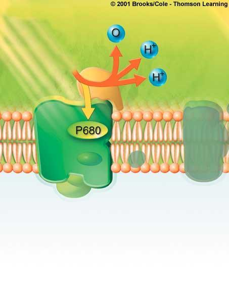 through ATP synthases; ATP forms by phosphate-group