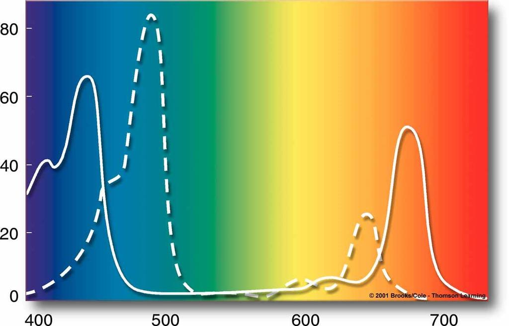 Wavelength absorption (%) CHLOROPHYLLS Main pigments in most