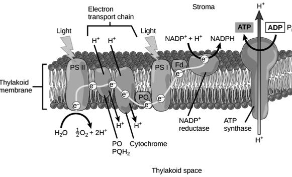 Step 5- The primary electron acceptor of photosystem I releases electron to a different electron transport chain which takes it to outside of thylakoid membrane that faces stroma The electron then