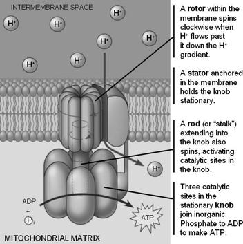 Chemiosmosis Chemiosmosis is the synthesis of ATP A protein called ATP synthase,