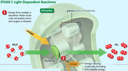 c. Light dependent reactions 1). Chlorophyll absorbs from sunlight. (photosystem) 2).