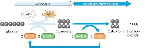 C. Alcoholic fermentation- similar to lactic acid fermentation \ 1. Products of alcoholic fermentation include,, 2.