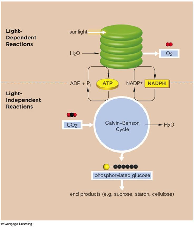 Summary - Light independent reaction Runs on ATP and NADPH