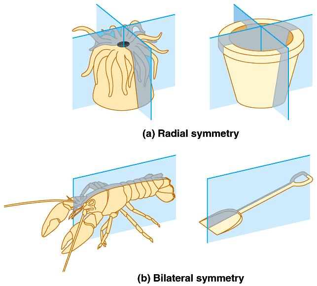 Body Plans Mostly INVERTEBRATES (no backbone)