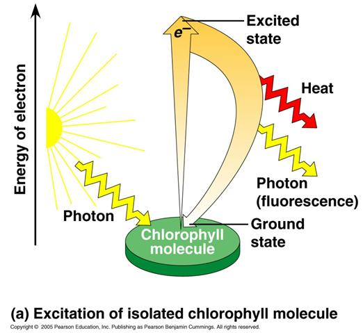 When molecules like chlorophyll absorb photons of light, they absorb energy They become excited!