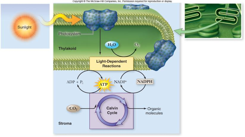 plants 2 Photosynthesis Overview Photosynthesis is divided into: light-dependent reactions -capture energy from sunlight