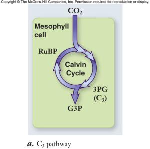 Photorespiration C4 plants -use PEP