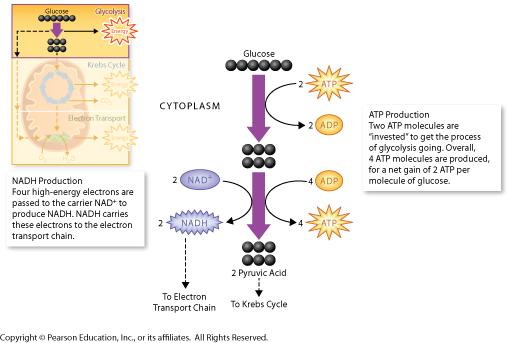 GLYCOLYSIS Where? The cytoplasm 1.