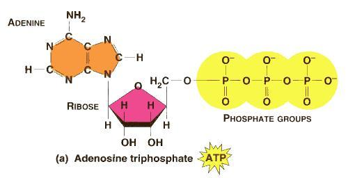ATP (ADENOSINE TRIPHOSPHATE) The main energy storage compound for living things.