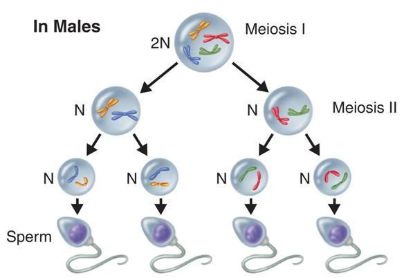 In male animals, meiosis results in