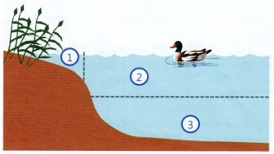 51. Look at the diagram of a lake: a) Where do you expect find more organisms, area 2 or area 3? Why? b) Which areas (1,2 or 3) do you think plants and phytoplankton can grow in?