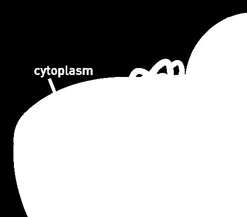 Fluid = cytosol Organelles (not