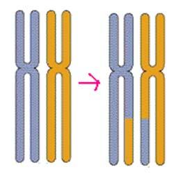 MEIOSIS Makes 4 cells genetically different from parent cell & from each other Makes 1n cells Makes Germ cells OR Gametes