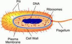 Cell wall Helps