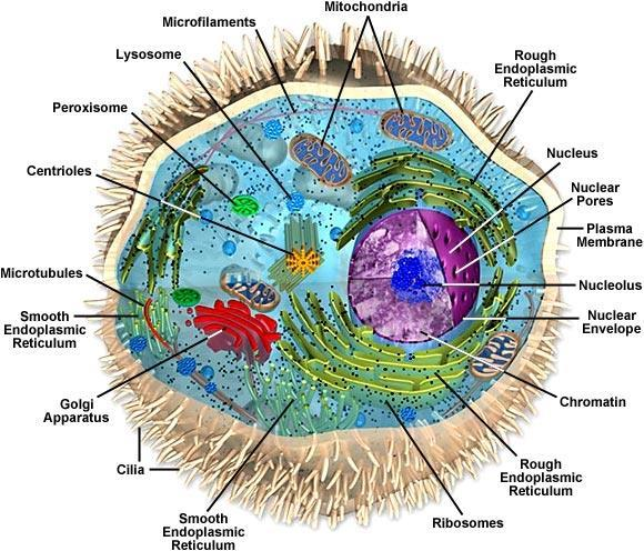 Eukaryotic cells Complex cells that contain a nucleus and many membrane-bound