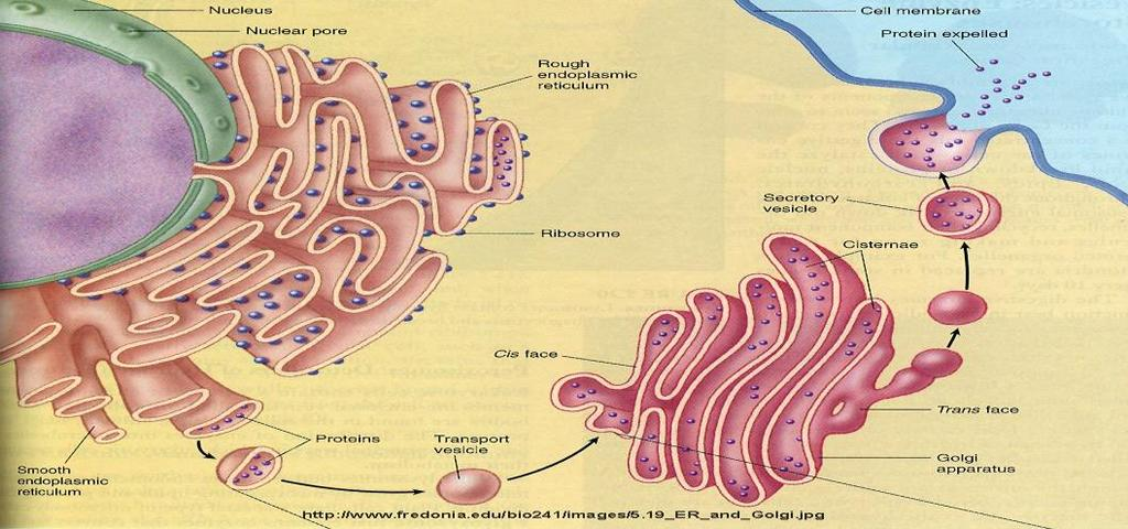 Golgi Apparatus Flattened, membrane-bound sacs that serve as the packaging and distribution center of the cell.