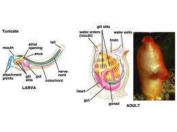 Ex: Larval tunicates (sea squirts) have a notochord that is not seen in the adult stage.