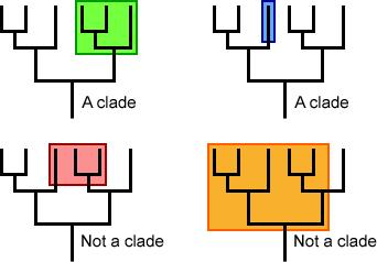 Clades A clade is a grouping that includes a common ancestor and all the