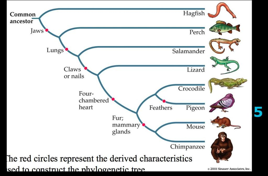 Cladogram of