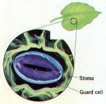 Stomata are small openings on the underside of leaves for gas exchange (O 2 & CO 2 ) D. Guard cells on each side of the stoma help open & close the stomata E.