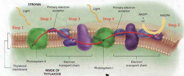 I. P 680 in Photosystem II loses an electron and becomes positively charged so it can now split water & release electrons (2H2O 4H+ + 4e- + O2) J.