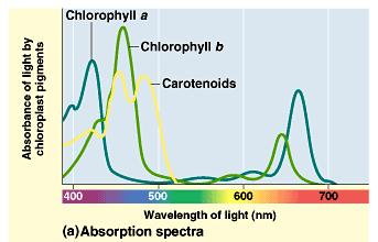 The light reaction can perform work only with those wavelengths of light that are absorbed.