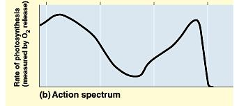 Collectively, these photosynthetic pigments determine an overall action spectrum for photosynthesis. Similar to the last graph?