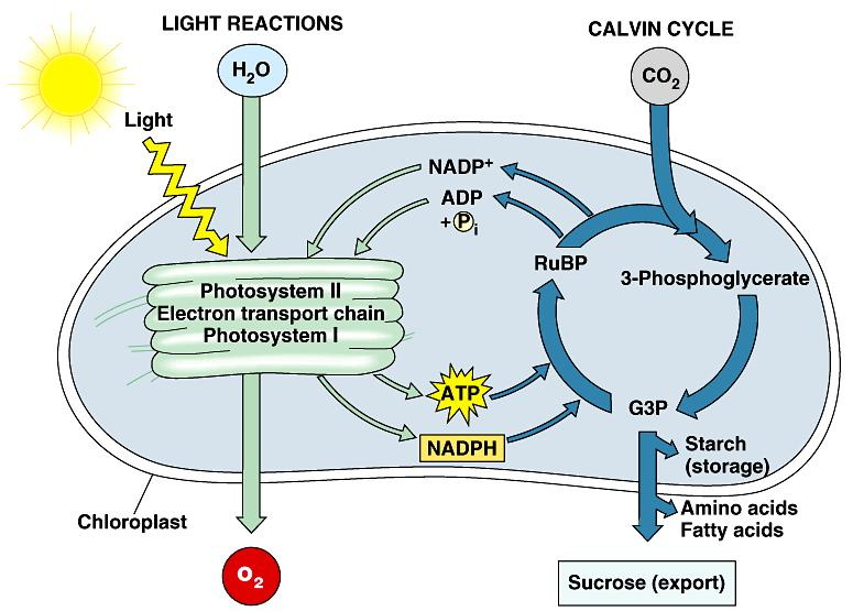 6. Photosynthesis is the biosphere s metabolic foundation: a review In photosynthesis, the energy that