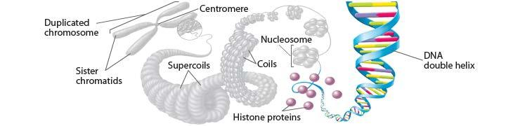 Chromatin is composed of