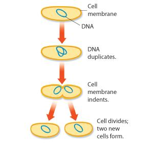 The Prokaryotic Cell Cycle At the end of their cell cycle, prokaryotes divide by binary fission.