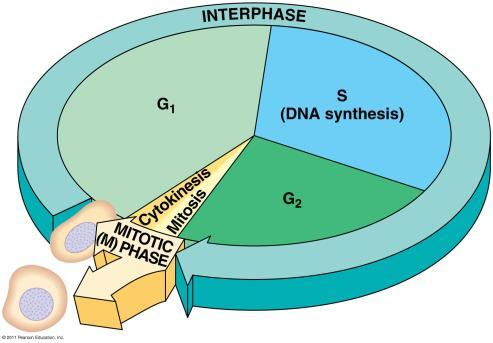 Topic 8 Mitosis & Meiosis Ch.12 & 13 The Eukaryotic Genome pp. 244-245,268-269 Genome All of the genes in a cell.