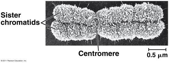 The Eukaryotic Genome A duplicated chromosome consists of two sister chromatids.