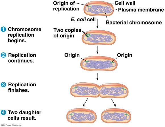 The Eukaryotic Genome In diploid cells, each parent provided a complete set of information. The chromosomes from each parent carry the exact same genes, but the forms of the genes (alleles) may vary.