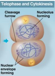 Cytokinesis - Division of the cytoplasm.