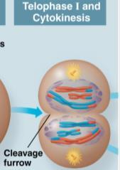 Meiosis I: Telophase I Each half of the cell has a haploid set of chromosomes.