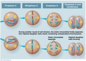 Meiosis II: Anaphase II The sister chromatids separate.