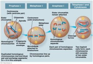Meiosis II: Telophase II Nuclei reform and the chromosomes begin decondensing.