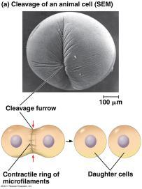 Cytokinesis p.251 Cytokinesis in animal cells results from a pinching off that results in the formation of a cleavage furrow.