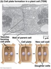 Instead a new cell wall is formed at the middle of the dividing cell. This new wall is called a cell plate. Fig. 12.10 Fig. 12.10 Mitosis vs. Meiosis pp.