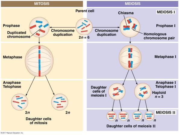 haploid, different from parent cell and each other Produces gametes Fig. 13.9 Creating Variation in Meiosis pp.