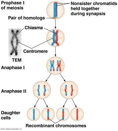 Homologous portions of two nonsister chromatids trade places.