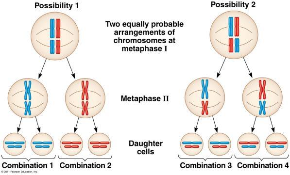 Fig. 13.11 2. Independent Assortment Homologous pairs of chromosomes orient randomly at metaphase I.