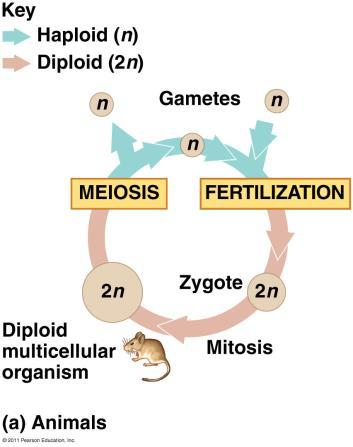 3. Random Fertilization Random fertilization adds to genetic variation because any sperm can fuse with any ovum.