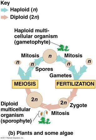 Animals (Humans) - Meiosis produces haploid gametes. Haploid sperm and haploid egg fuse and syngamy (fertilization) produces a diploid zygote.