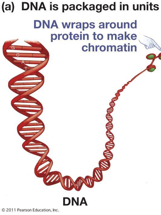 Chromosomes are associations of DNA and proteins: Chromosome structure C.