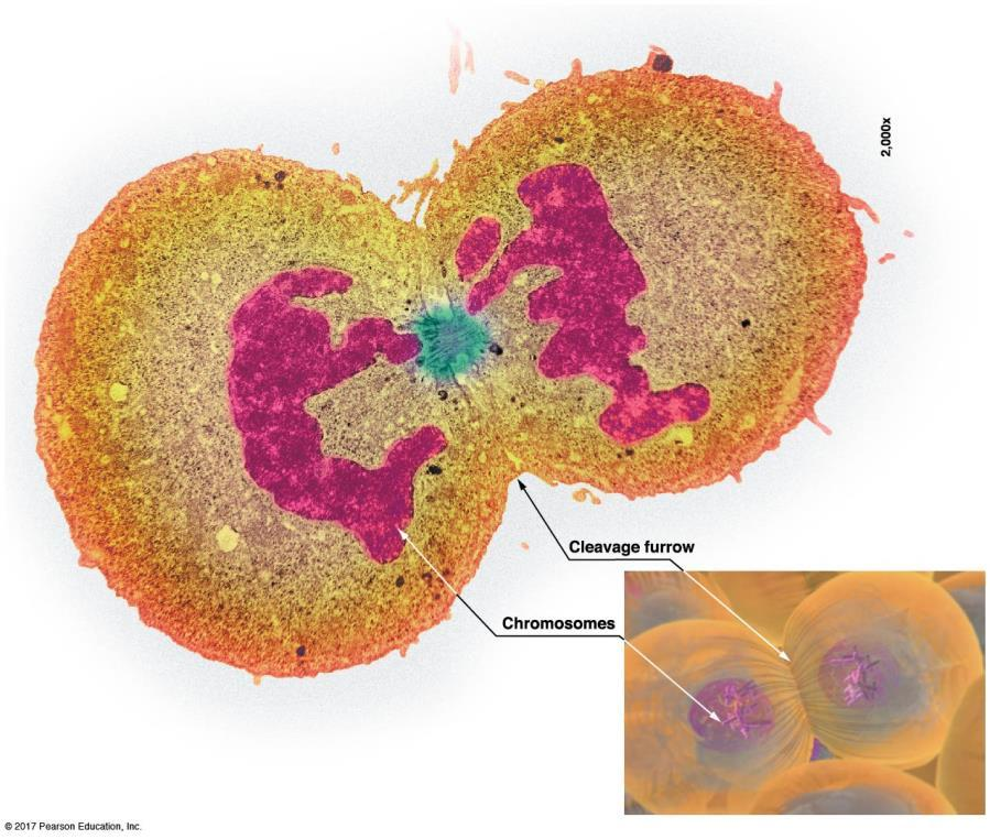 During cytokinesis, the cell is split in two: Cytokinesis is the distribution of cytoplasm into two offspring cells A.