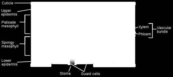 surrounded by guard cells) Light is absorbed by chloroplasts which